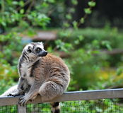 Ring-tailed lemur (Lemur catta) Royalty Free Stock Photos