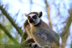 Ring-tailed lemur (lemur catta) Stock Photos