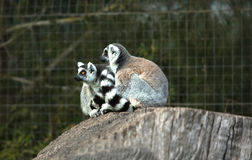 Ring-tailed lemur or Lemur catta. This is a large strepsirrhine primate and the most common lemur due to its long, black and white ringed tail. It is the only Royalty Free Stock Photography