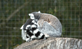 Ring-tailed lemur or Lemur catta. This is a large strepsirrhine primate and the most common lemur due to its long, black and white ringed tail. It is the only Royalty Free Stock Photo