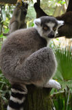 Ring Tailed Lemur, Lemur Catta. The lemur is sitting in the singapore zoo Royalty Free Stock Image