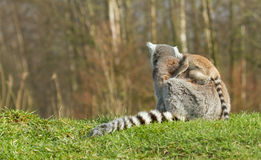 Ring-tailed lemur (Lemur catta) Stock Images