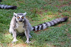 Ring-tailed lemur (Lemur catta). A ring-tailed lemur (Lemur catta) with his long tail Royalty Free Stock Photo