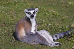 Free Ring-tailed Lemur (Lemur Catta) Stock Images - 33965904