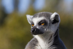Free Ring-tailed Lemur (Lemur Catta) Royalty Free Stock Images - 33971129