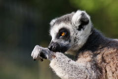 Ring-tailed Lemur - Lemur catta Royalty Free Stock Photo