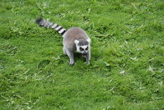 Ring-tailed Lemur - Lemur catta Stock Photography