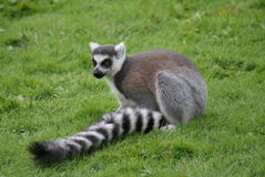 Ring-tailed Lemur - Lemur catta Stock Photos