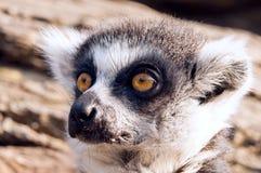 Ring-tailed Lemur (Lemur Catta) Lizenzfreie Stockbilder