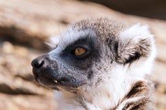 Ring-tailed Lemur (Lemur Catta) Stockbild