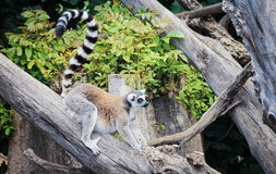 Free Ring-tailed Lemur Lemur Catta Royalty Free Stock Photos - 96869118