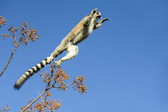 Ring-tailed lemur, lemur catta, anja Royalty Free Stock Image