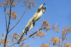 Ring-tailed lemur, lemur catta, anja Royalty Free Stock Photos