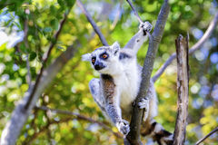 Ring-tailed lemur, lemur catta, anja Stock Photography