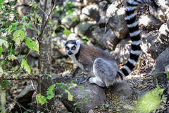 Ring-tailed lemur, lemur catta, anja Royalty Free Stock Photo