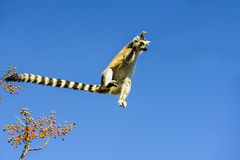 Ring-tailed lemur, lemur catta, anja Royalty Free Stock Photography