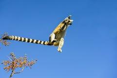 Ring-tailed Lemur, Lemur catta, Anja Lizenzfreie Stockfotografie