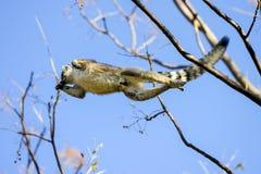 Ring-tailed lemur, lemur catta, anja Stock Photography