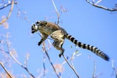 Ring-tailed lemur, lemur catta, anja Royalty Free Stock Photo