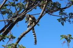 Ring-tailed lemur Lemur catta at Anja Community Reserve, Madagascar Royalty Free Stock Image