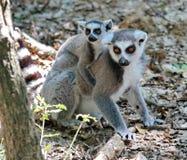 Ring-tailed lemur, lemur catta, baby and mum Royalty Free Stock Photos