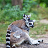 Ring-tailed lemur (lemur catta) with baby ride on one's back in Stock Images