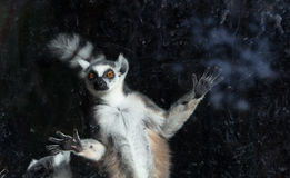Free Ring-tailed Lemur (Lemur Catta) Behind A Glass Aviary Zoo Stock Images - 34906494
