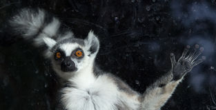 Ring-tailed lemur (Lemur Catta) behind a glass aviary zoo Stock Image