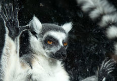 Ring-tailed lemur (Lemur Catta) behind a glass aviary zoo Royalty Free Stock Images