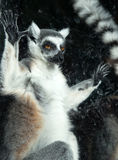 Ring-tailed lemur (Lemur Catta) behind a glass aviary zoo Stock Images