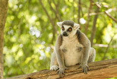 Ring-tailed lemur (lemur catta) Royalty Free Stock Photography