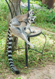 Ring-tailed lemur (Lemur catta) on chair Royalty Free Stock Photo