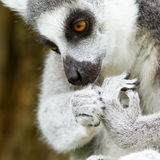 Ring-tailed lemur (Lemur catta) cleaning it's claw Stock Photography