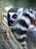 Ring-tailed lemur lemur catta Stock Images
