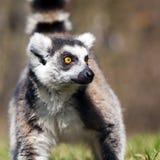 Ring-tailed lemur (Lemur catta) Royalty Free Stock Image