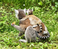 Ring-tailed lemur - Lemur catta - with cub are fed Royalty Free Stock Images
