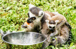 Ring-tailed lemur - Lemur catta - with cub are fed from the bowl Royalty Free Stock Photography