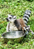 Ring-tailed lemur - Lemur catta - with cub are fed from the bowl Stock Images