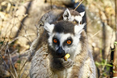 Ring-tailed lemur (lemur catta) and cute cup, madagascar Stock Photography