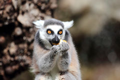 Ring-tailed lemur (Lemur catta)  eating a fruit Royalty Free Stock Photography
