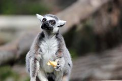 Ring-tailed lemur (Lemur catta) eating a fruit Stock Image