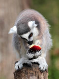 Ring-tailed lemur (Lemur catta) eating a fruit Stock Photos