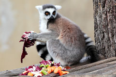 Ring-tailed lemur (Lemur catta) eating fruits and vegetables Royalty Free Stock Image
