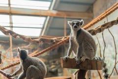 The ring tailed lemur (lemur catta) eating stock images