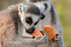 Ring-tailed lemur & x28;Lemur catta& x29; eating yam. Most familiar large strepsirrhine primate in the family Lemuridae gnawing on vegetables Royalty Free Stock Photo
