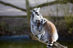 Ring-tailed Lemur, Lemur catta, female with young Royalty Free Stock Photography
