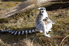 Ring-tailed Lemur, Lemur catta, female with young Stock Images