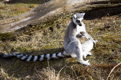 Ring-tailed Lemur, Lemur catta, female with young Stock Photography