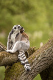 Ring-tailed Lemur, Lemur Catta, females with cubs Royalty Free Stock Photography