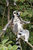 Ring-tailed lemur (Lemur catta). Stock Photos